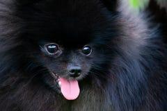 Szczeniaka Pomorski Spitz z swój właścicielem Młody energiczny pies na spacerze Bokobrody, portret, zbliżenie fotografia royalty free