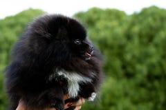 Szczeniaka Pomorski Spitz z swój właścicielem Młody energiczny pies na spacerze Bokobrody, portret, zbliżenie zdjęcia royalty free