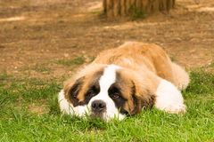 Szczeniaka psa świętego Bernard trakenu portret fotografia stock