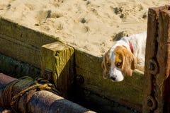Szczeniaka psa oczy Obrazy Royalty Free