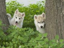 szczeniaka psi łuskowaty siberian Obraz Royalty Free