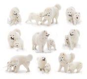 szczeniaka psi samoyed Obrazy Royalty Free