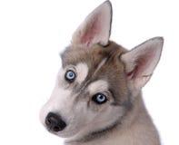 szczeniaka psi łuskowaty siberian Fotografia Royalty Free