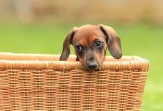 szczeniaka psi wiener obrazy royalty free