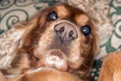 Szczeniaka psiego nosa szczegółu makro- zakończenie up Obrazy Royalty Free