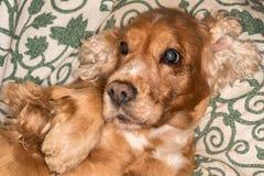 Szczeniaka psiego nosa szczegółu makro- zakończenie up Zdjęcia Stock