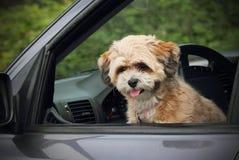 szczeniaka samochodowy okno Zdjęcie Royalty Free