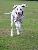 szczeniaka szczęśliwy bieg Zdjęcia Royalty Free
