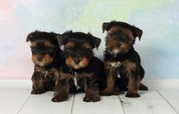 szczeniaka terier trzy Yorkshire Obrazy Royalty Free