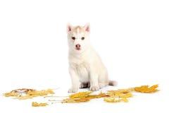 szczeniaka łuskowaty siberian Zdjęcia Royalty Free