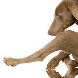 szczeniaka weimaraner Zdjęcie Stock