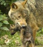 szczeniaka wilk Fotografia Royalty Free