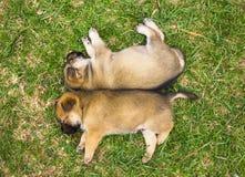 Szczeniaki śpią na trawie Obrazy Royalty Free