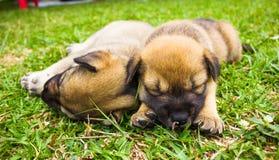 Szczeniaki śpią na trawie Fotografia Royalty Free