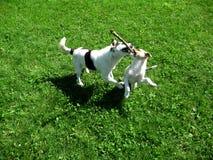 Szczeniaki bawić się na trawie Fotografia Royalty Free