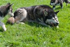 Szczeniaki i ich psia mama Zdjęcia Stock