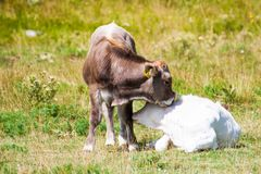 Szczeniaki krowa w czule postawie zdjęcie stock