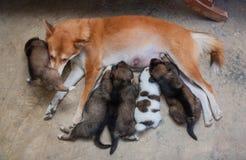 Szczeniaki pije mleko od ich matkują psa obrazy stock