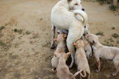 Szczeniaki wykarmia tits matka pies indyjscy uliczni psy zdjęcie stock