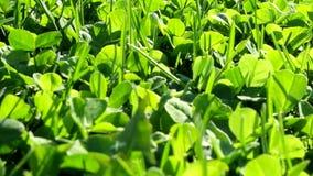 Szczery materiał filmowy ostrza zielona trawa w a zbiory wideo