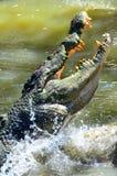 Szczęki Saltwater krokodyl przeskakują z wody Fotografia Royalty Free