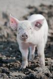 szczęśliwa świnia Obrazy Stock