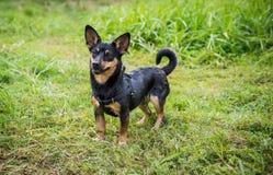 Szczęśliwy moczy psa Obrazy Royalty Free