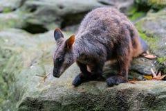 Szczotkarski ogoniasty wallaby lub mały słyszący rockowego wallaby Petrogale penicillata gotowi skakać od skały w NSW Australia zdjęcia royalty free