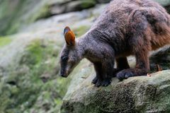 Szczotkarski ogoniasty wallaby lub mały słyszący rockowego wallaby Petrogale penicillata gotowi skakać od skały w NSW Australia obrazy stock