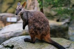 Szczotkarski ogoniasty wallaby lub mały słyszący rockowego wallaby Petrogale penicillata w NSW Australia fotografia royalty free
