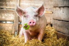 Szczęsliwa świnia Zdjęcia Royalty Free