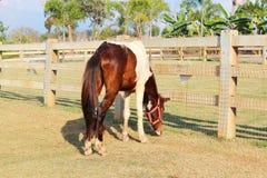 Szczupły koń w gospodarstwie rolnym Obraz Royalty Free