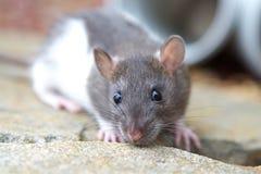 szczurów potomstwa Zdjęcie Royalty Free