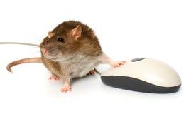 szczur Obraz Stock