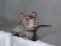 Szczur 22 fotografia stock