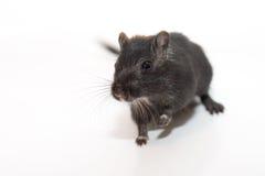 szczur. Zdjęcia Stock