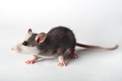 szczur. Zdjęcie Royalty Free