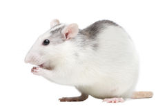 szczur Obrazy Stock