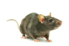 szczur zdjęcia stock