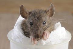 Szczur brudny Fotografia Stock