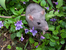 szczur dziecka zdjęcie royalty free