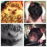 Szczur i Hedgie obrazy royalty free