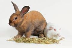 Szczur i przyjaciel Królika i królika doświadczalnego łasowania tymotki siana trawa Zdjęcia Stock