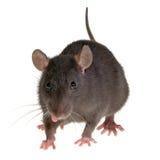 szczur jest język Zdjęcie Royalty Free