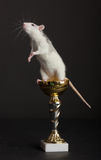 Szczur jest na złotej Filiżance Obrazy Royalty Free