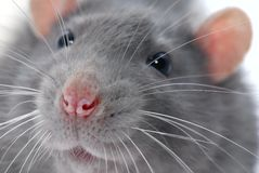szczur jest twarz Zdjęcia Stock
