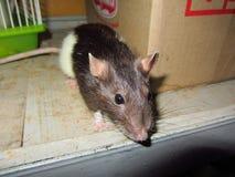 Szczur Larisa Fotografia Royalty Free