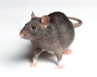 Szczur na bielu zdjęcie royalty free