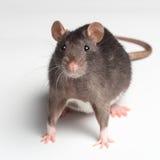 Szczur na bielu obrazy royalty free
