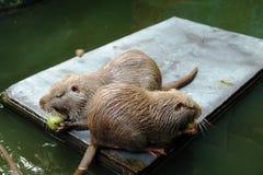 Szczur nutrie Obraz Stock